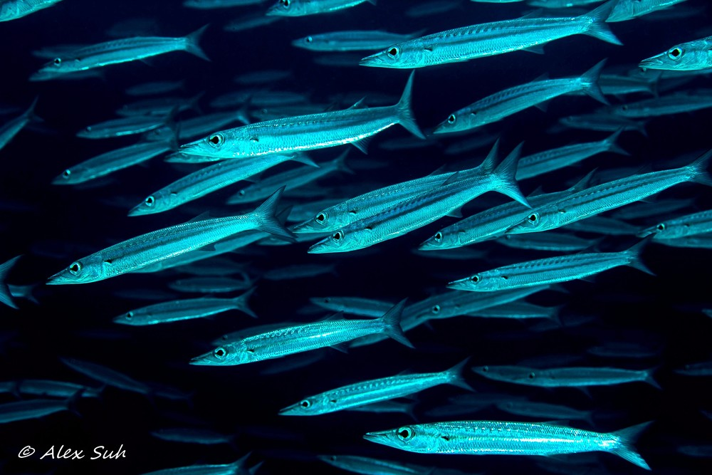 School of Baby Bigeye Barracuda (Sphyraena forsteri)