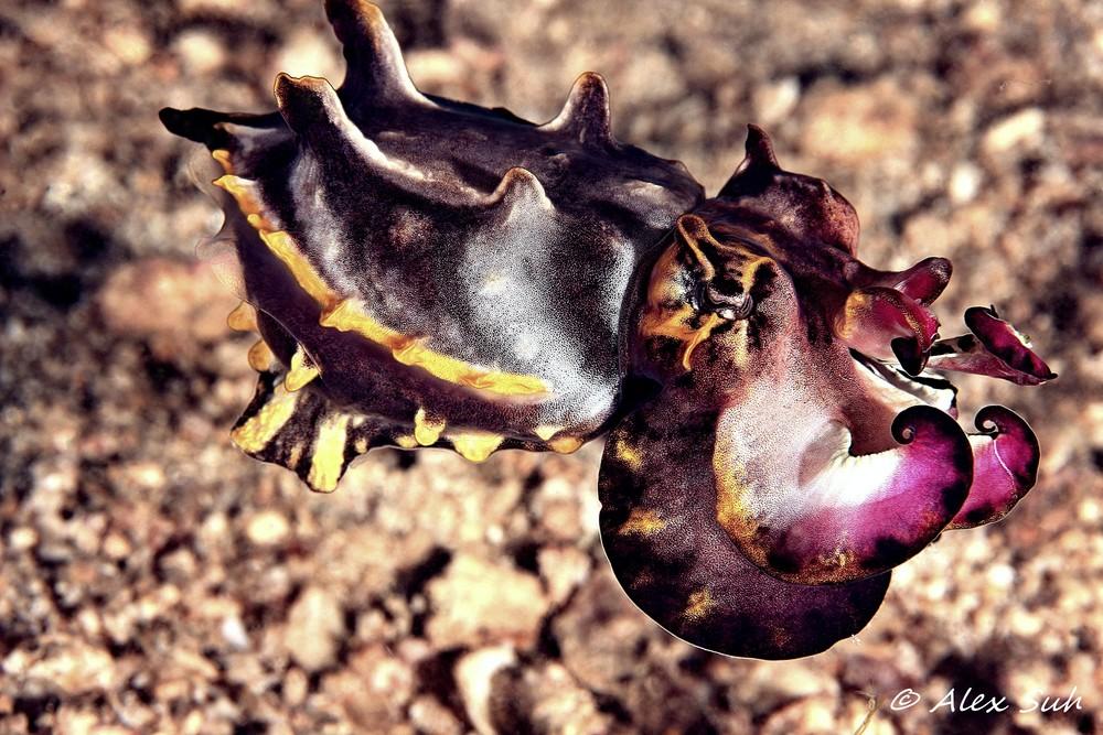 Flambouyant Cuttlefish (Metasepia pfeffen)