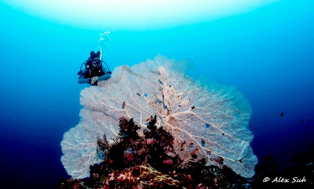 Giant Sea Fan in Verde Island, Philippines