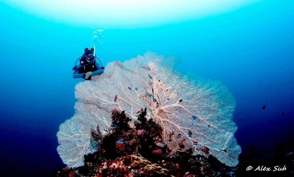 Giant Sea Fan in Verde Island, Philippines