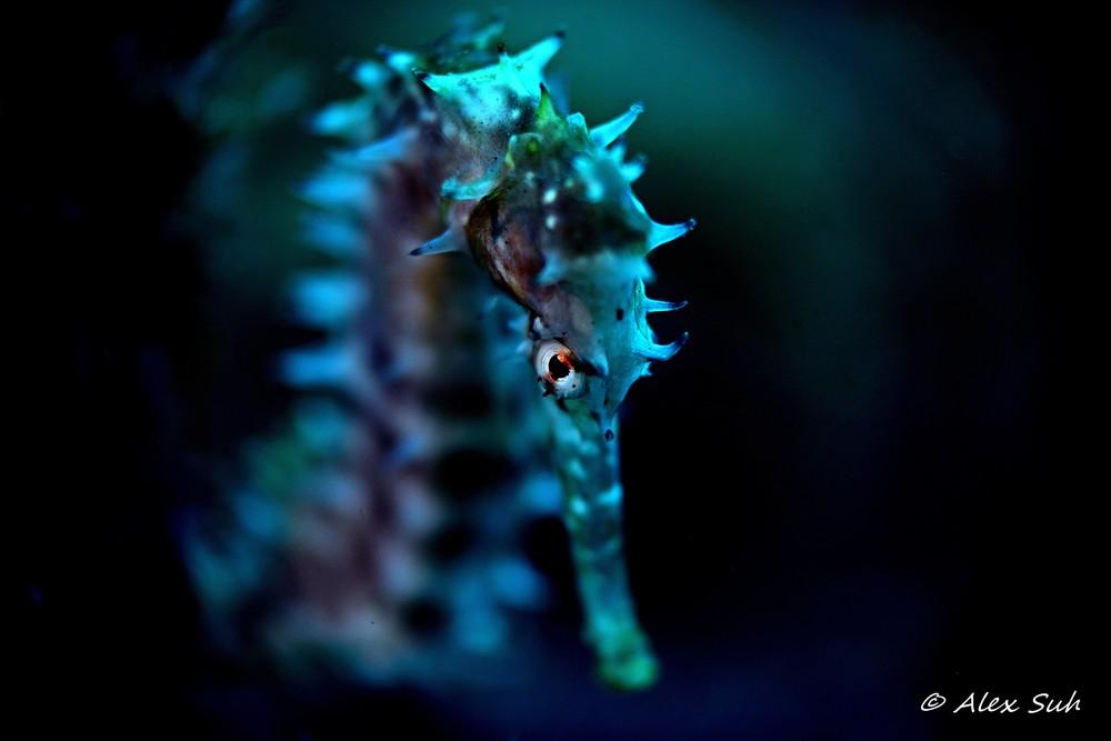 Evil Eye Seahorse