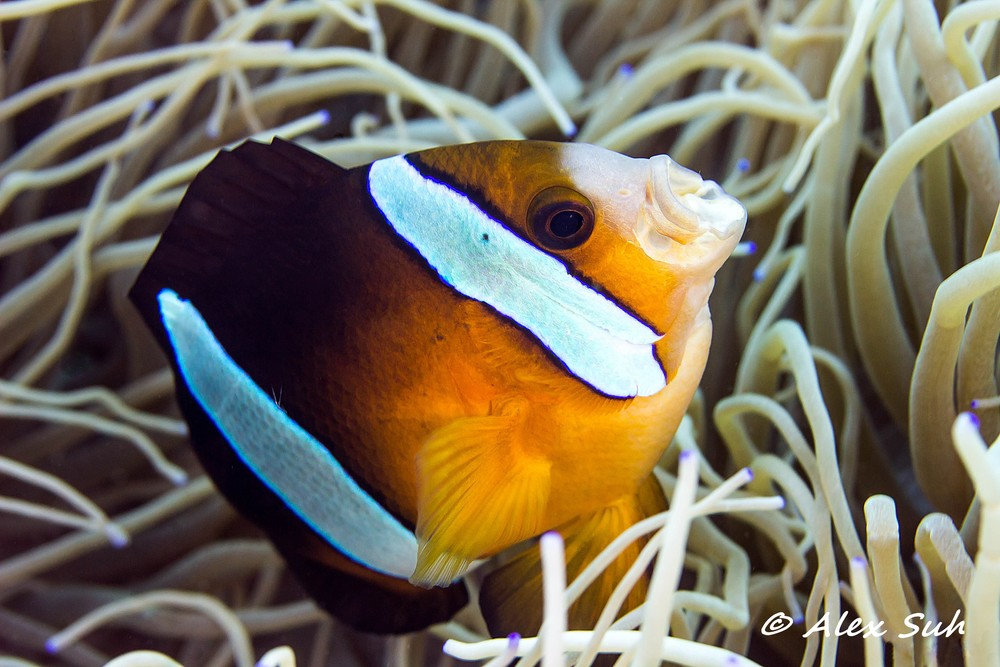 Sebae Clown Fish Yawning