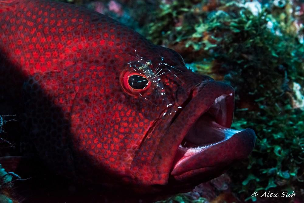 Coral Grouper (Cephalopholis miniatus)