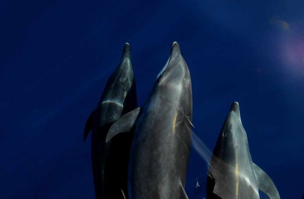 Dolphins in Harmony