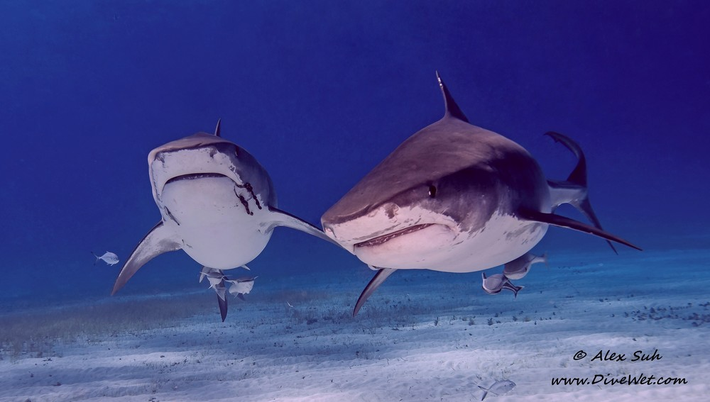 Two Large Tiger Sharks