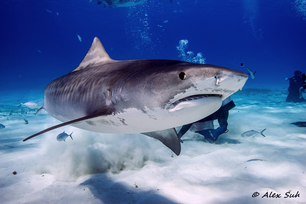 Tiger Shark Swimming Away