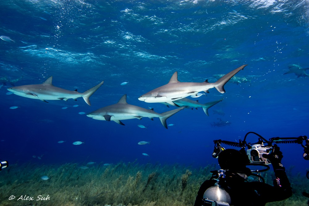 3 Reef Sharks Passing By