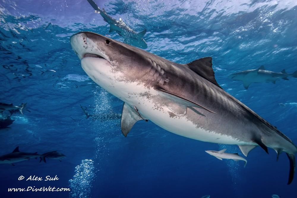 Tiger Shark_.jpg