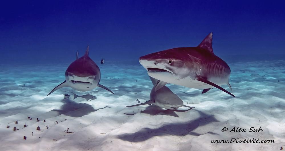 3 sharks.jpg