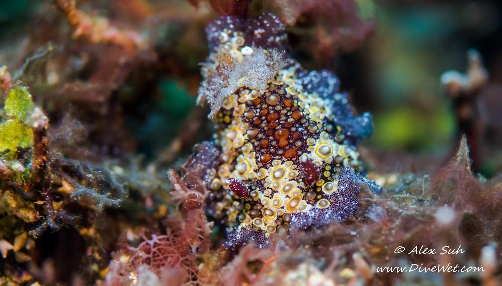 Starry Carminodoris Nudibranch (Carminodoris estrelyyado)