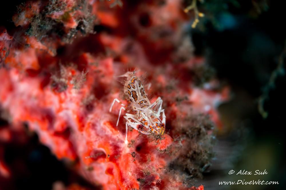 Spiny Tiger Shrimp (Phyllognathia ceratophthalmus)