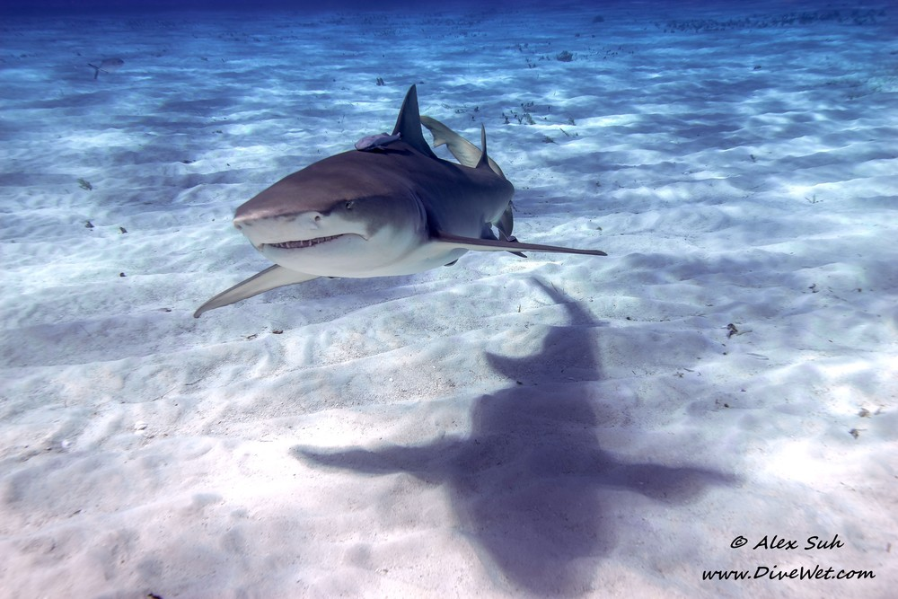 Lemon Shark and Shadow