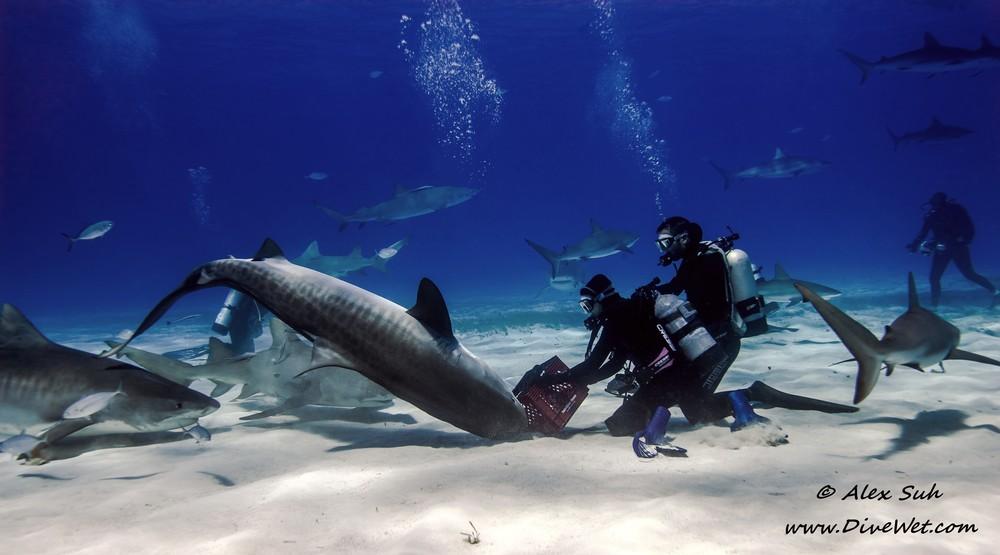 Tiger Shark Ballet