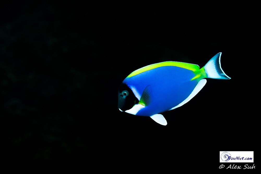 Fish/Vertebrate Gallery — Dive Wet