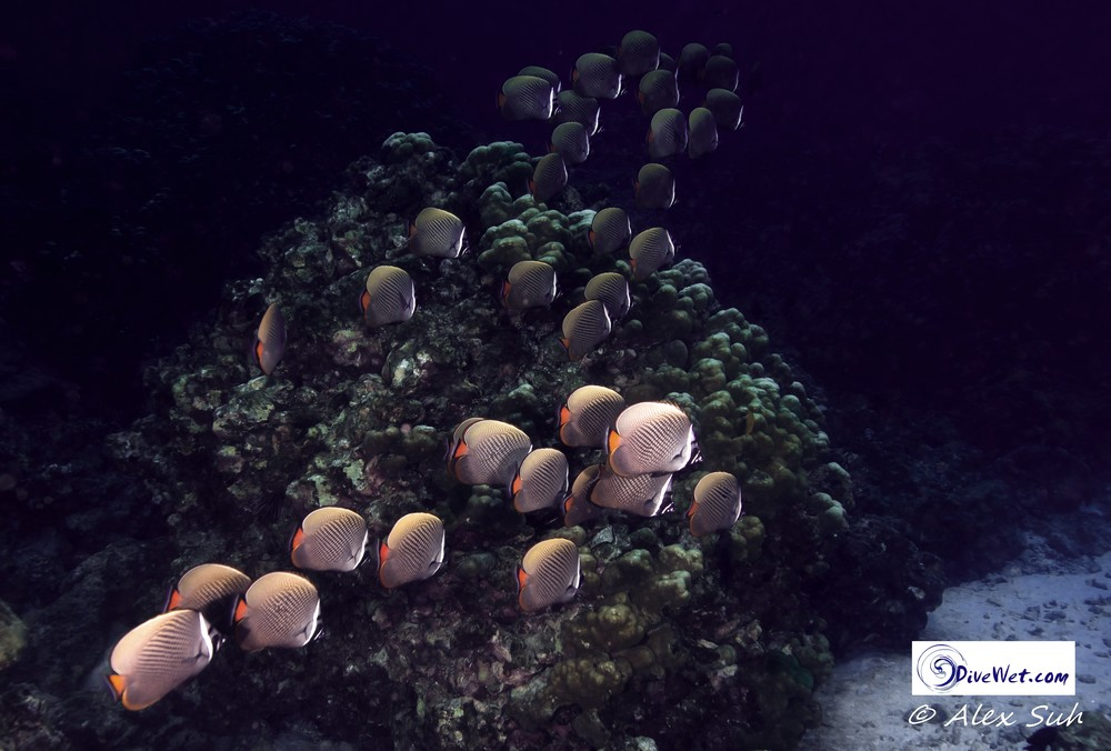 School of Pakistan Butterflyfish (Chaetodon collare)