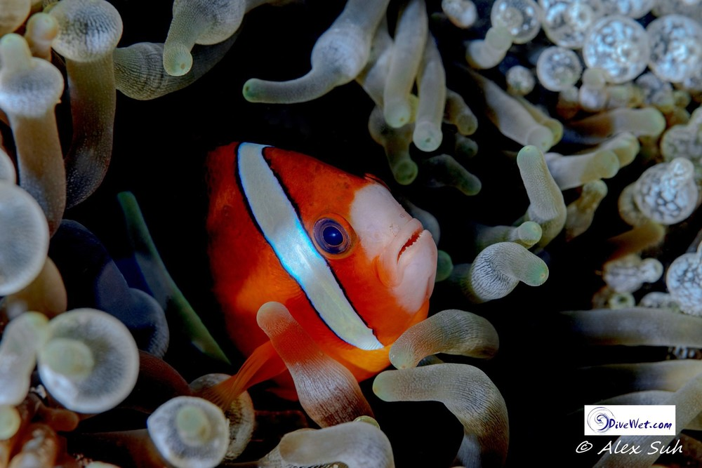 Tomato Clown Fish in Bubble Anenome