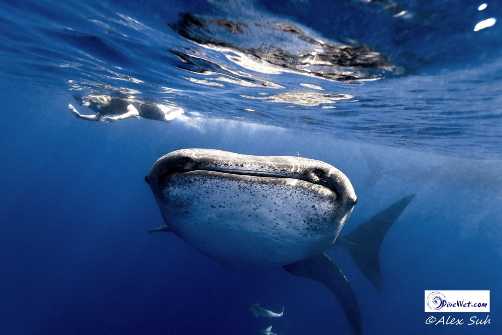 Whale Shark Head On Snorklers (Final).jpg