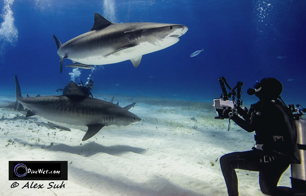 2 Tiger Sharks & Photographer