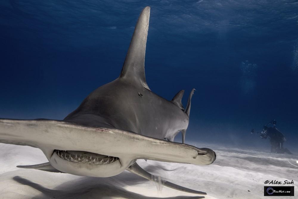 Great Hammerhead Shark (Sphyrna mokorran) - Up Close