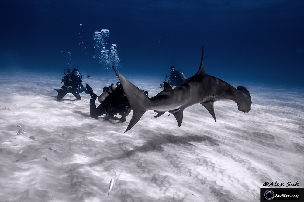 Great Hammerhead Shark (Sphyrna mokorran) - Bend it like Beckham