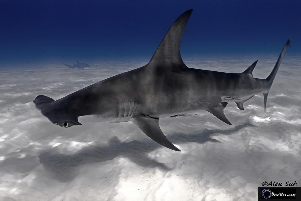 Great Hammerhead Shark (Sphyrna mokorran) - Reflections