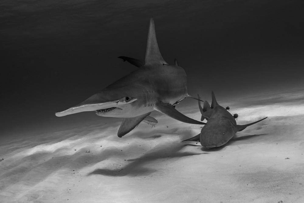 Great Hammerhead Shark (Sphyrna mokorran) - Hammer and Nurse side-by-side