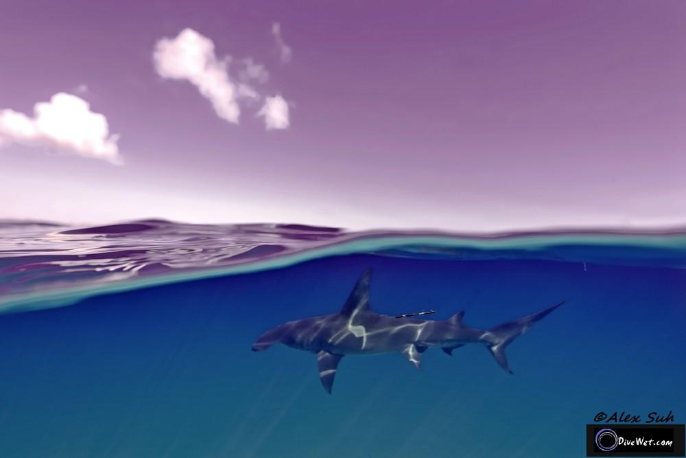 Great Hammerhead Shark (Sphyrna mokorran) - Over Under shot