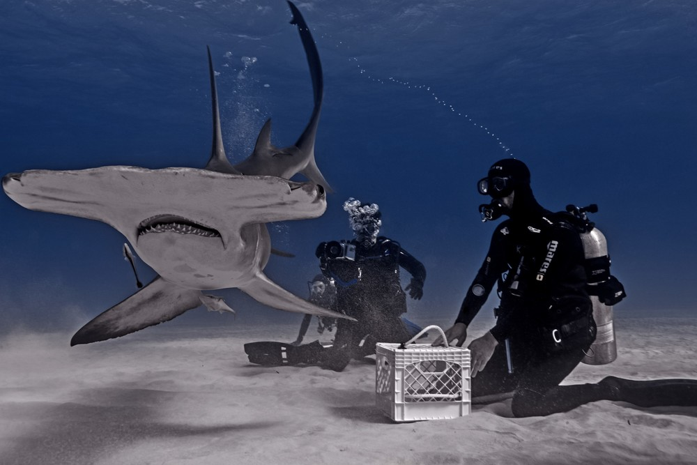 Great Hammerhead Shark (Sphyrna mokorran) - Dipping ot