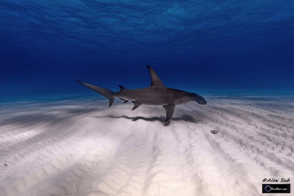 Great Hammerhead Shark (Sphyrna mokorran) - Gliding