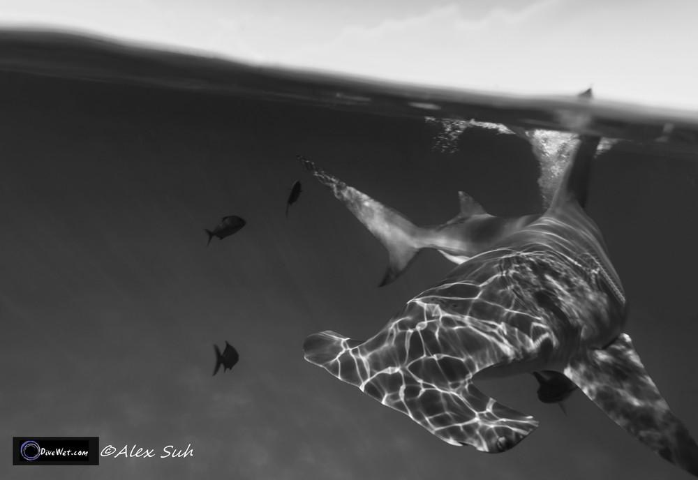 Great Hammerhead Shark (Sphyrna mokorran) - BW Over Under of Hammerhead at Surface