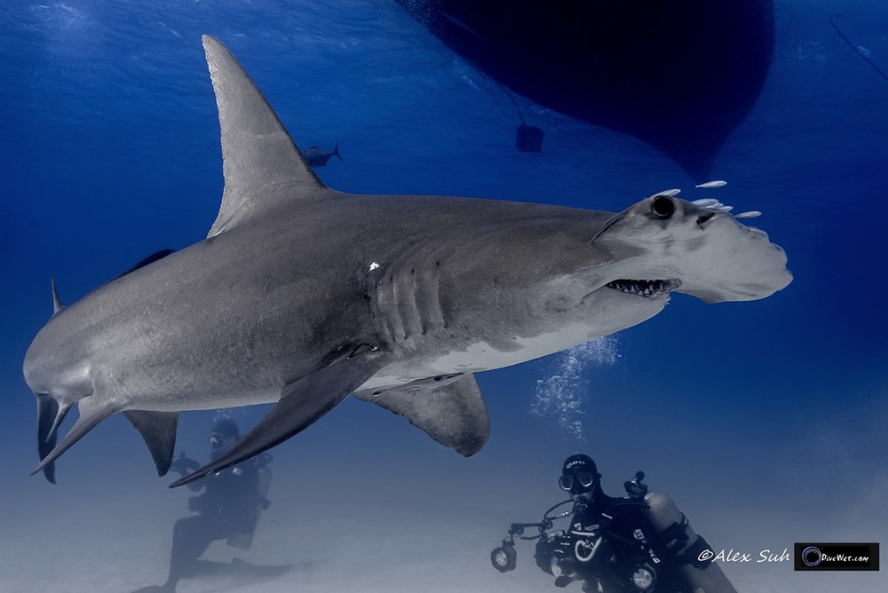 Great Hammerhead Shark (Sphyrna mokorran) - Dandruff or Bad Hair Day?