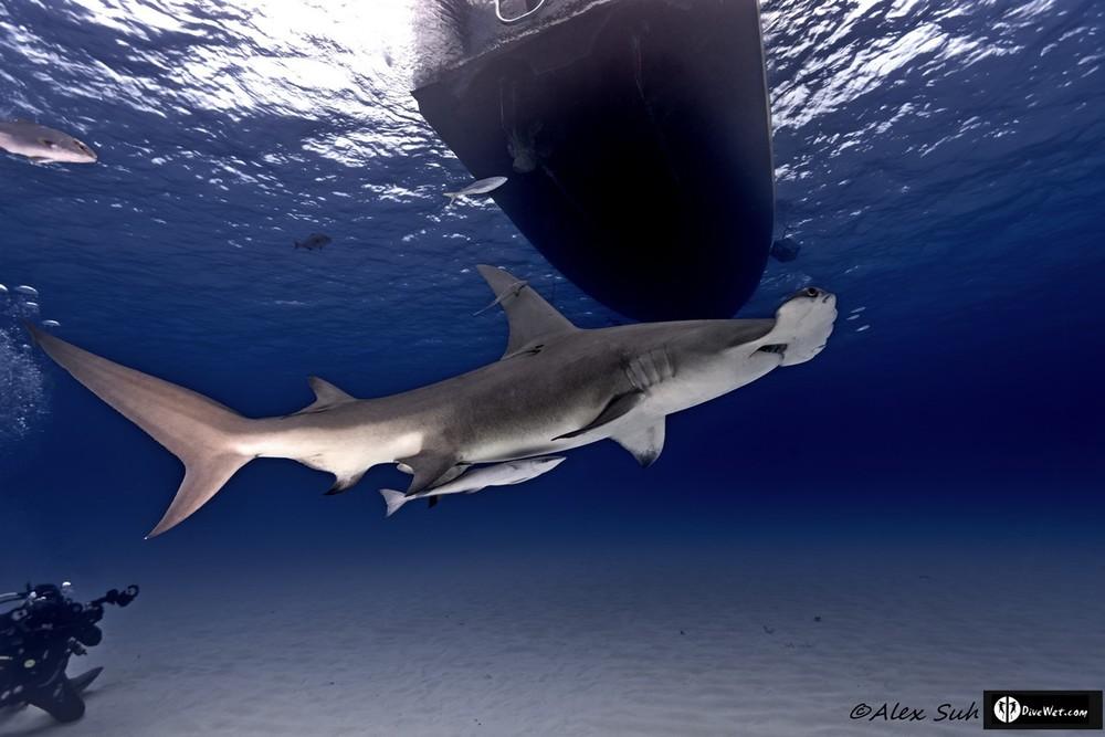 Great Hammerhead Shark (Sphyrna mokorran) - Ascending
