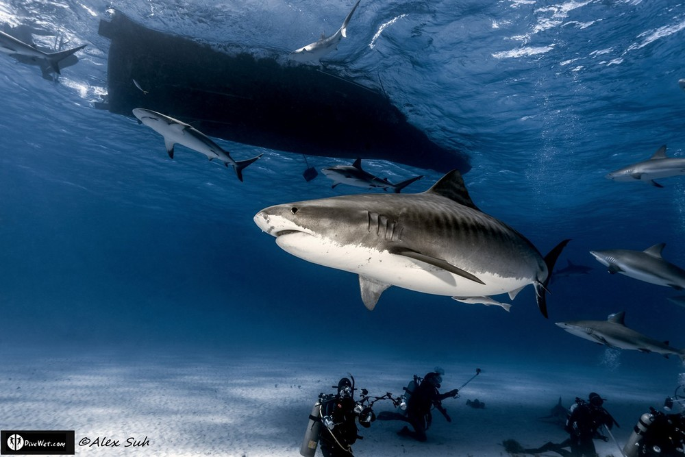 Tiger Shark Above It All