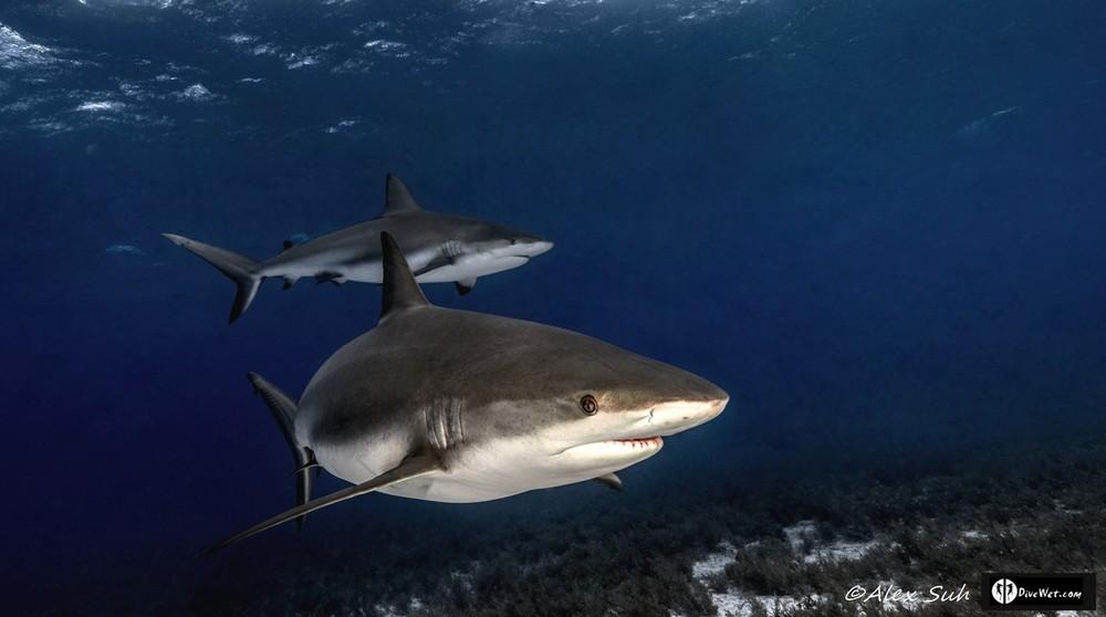 2 Caribbean Reef Sharks (Carcharhinus perezii) @ Tiger Beach