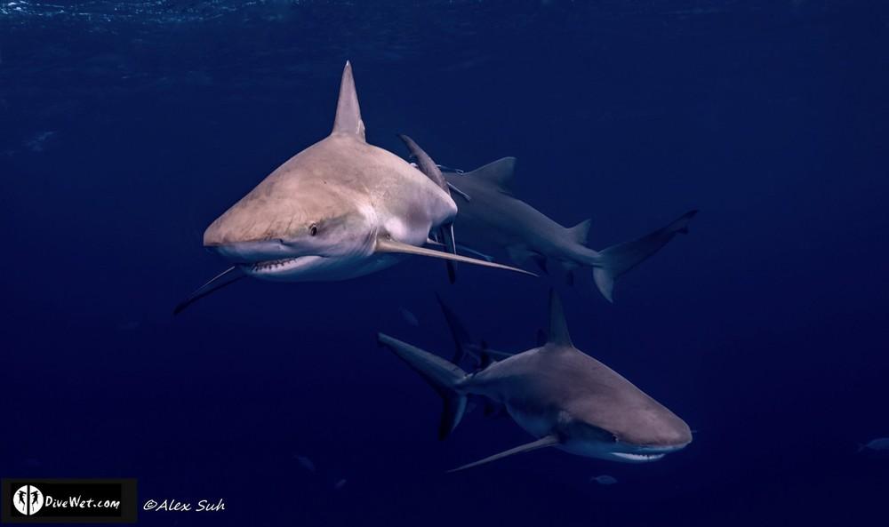 3 Caribbean Reef Sharks (Carcharhinus perezii)