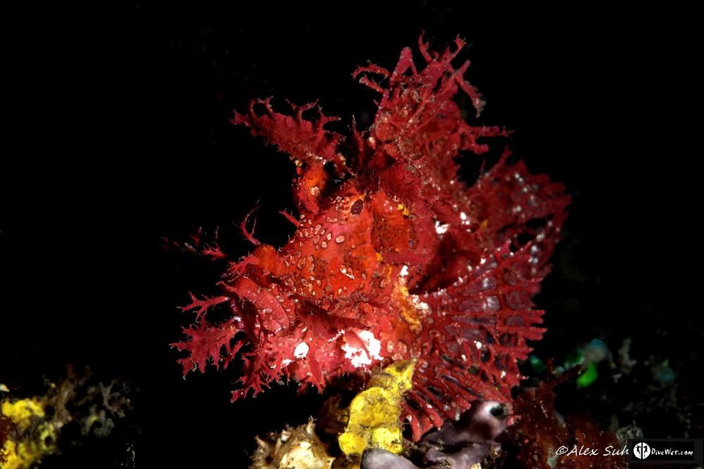 Rhinopias Scorpionfish