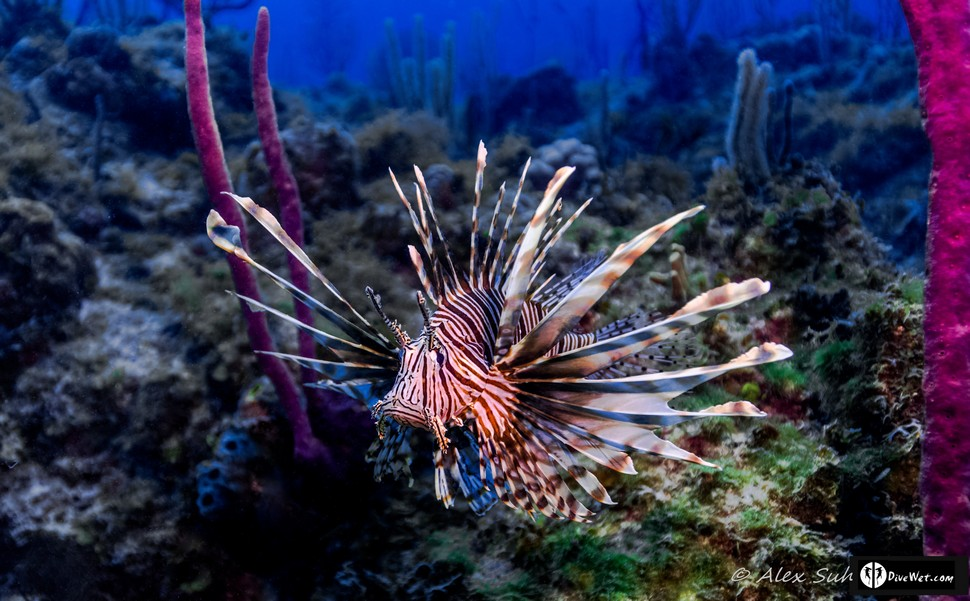 Lion Fish (Pterois volitan)