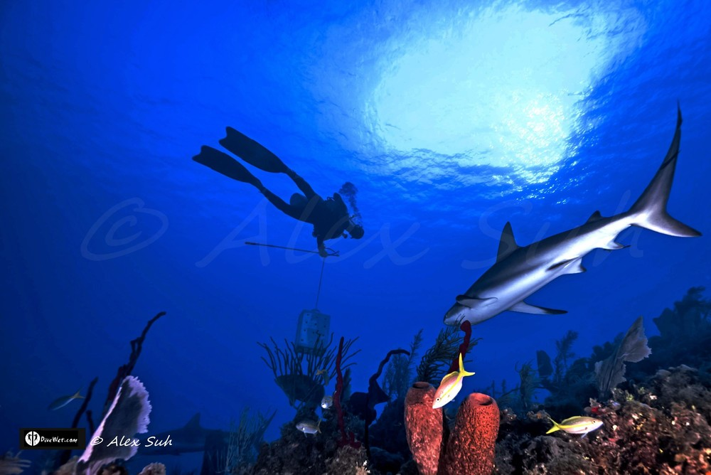 Cuban Fausto De Nevi with Caribbean Reef Shark (Carcharhinus perezii) Under the Sun Rays