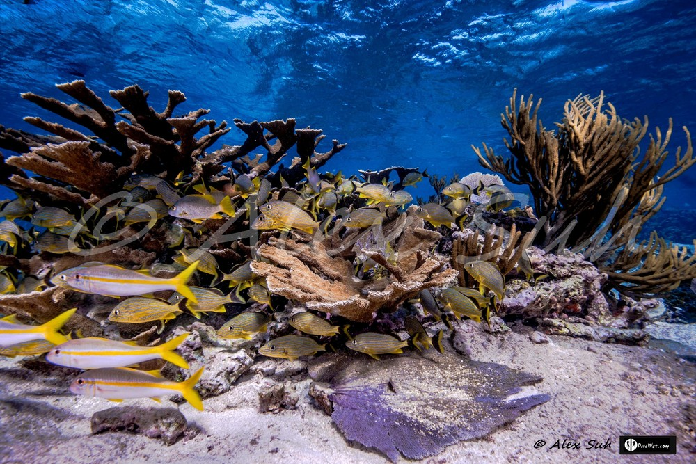 Elkhorn Coral, Soft Coral Reef with Snappers