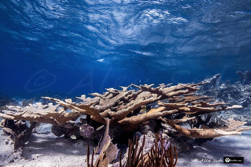 Elkhorn Coral (Acropora palmata) Reef
