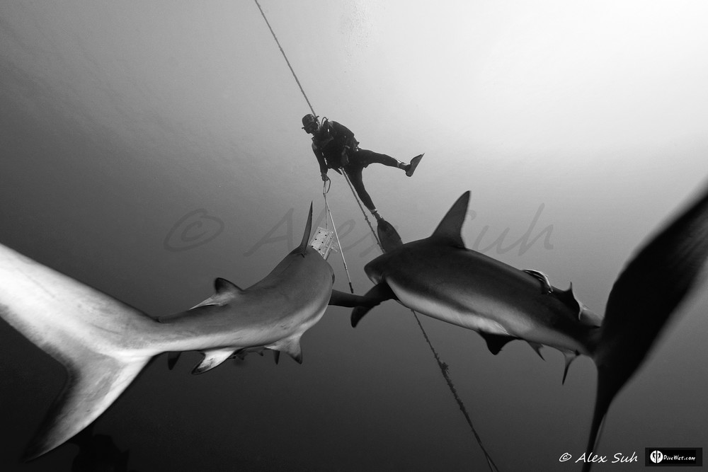 B&W Cuban Diver Fausto De Nevi and Caribbean Reef Sharks (Carcharhinus perezii) Coming For Closer Look