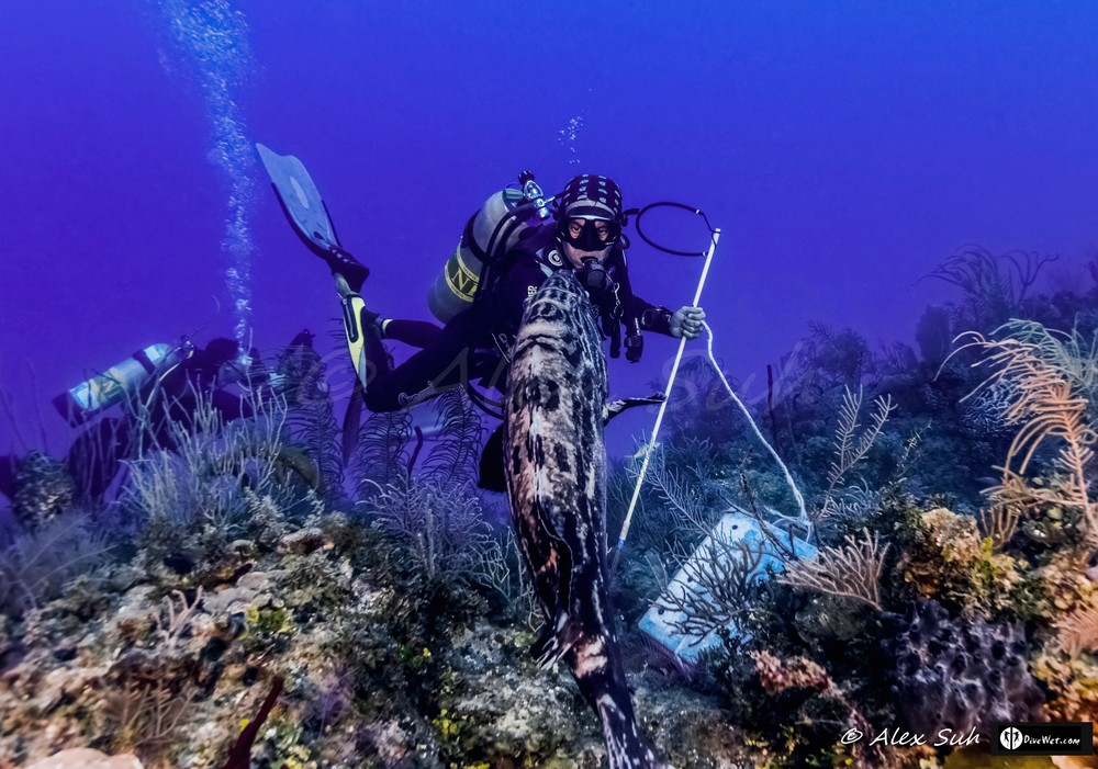 Fausto De Nevi Cuban Diver with Friendly Grouper - Spear is only for Lion Fish Culling