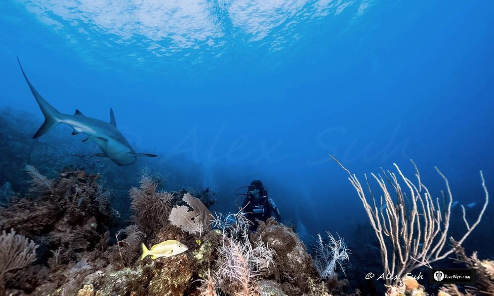 Peek A Boo with Caribbean Reef Shark (Carcharhinus perezii)
