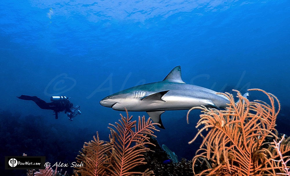 Diver with Caribbean Reef Shark (Carcharhinus perezii)