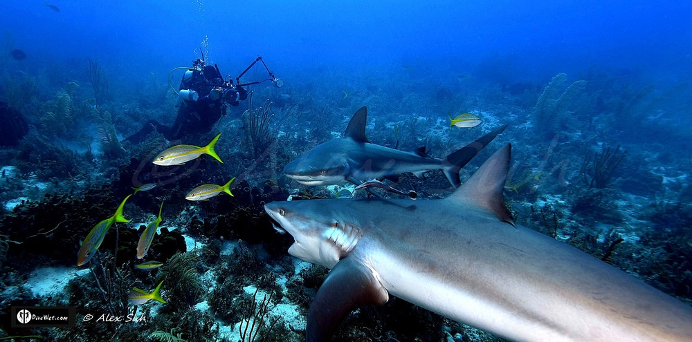 Diver Photographing Caribbean Reef Sharks (Carcharhinus perezii) Eating Sardine