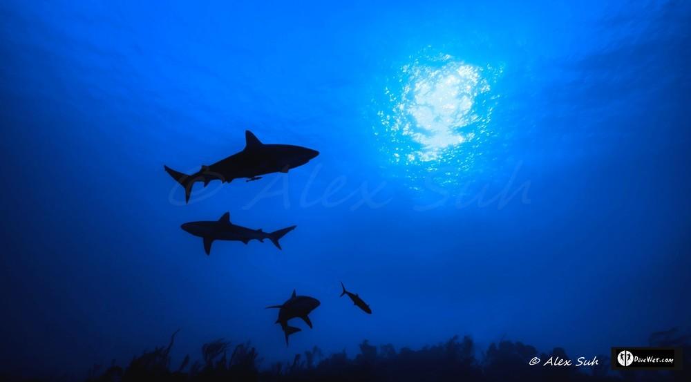 Shadows of Caribbean Reef Sharks (Carcharhinus perezii)