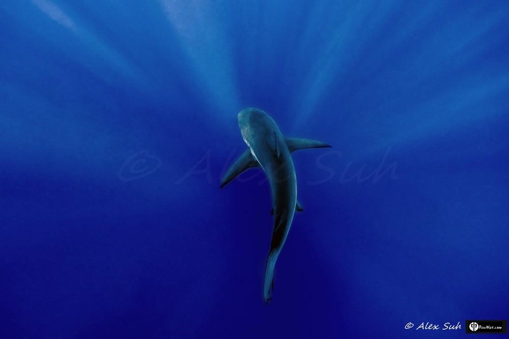 Caribbean Reef Shark (Carcharhinus perezii) Over Sun Rays