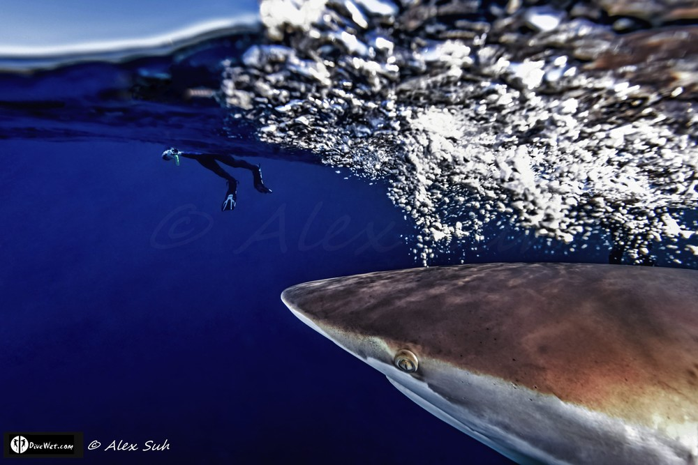 Over Under of Silky Shark (Carcharhinus falciformis) Passing Me to See Snorkler
