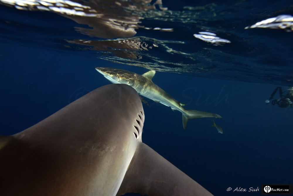 Caribbean Reef Shark (Carcharhinus perezii) Heading To Another One