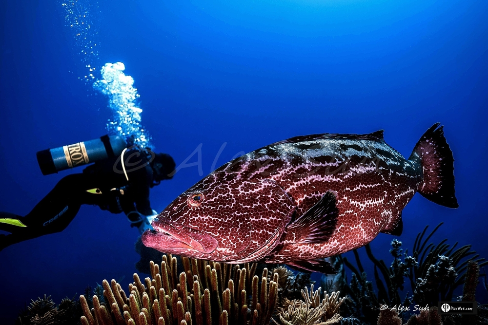 Large Grouper with Diver